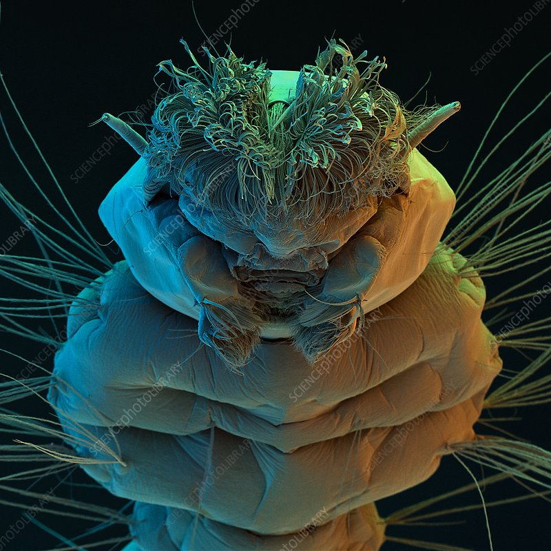 Coloured SEM of the head of a mosquito larva