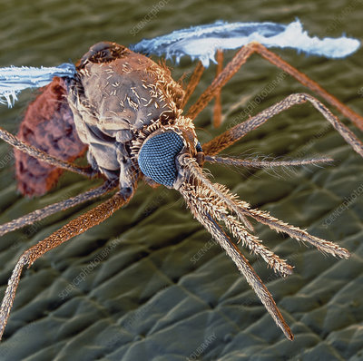 Colour SEM of a malaria mosquito (Anopheles sp.)