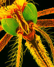 SEM of a female malaria mosquito's head