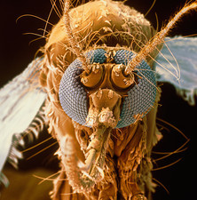 Coloured SEM of a mosquito, Aedes aegypti