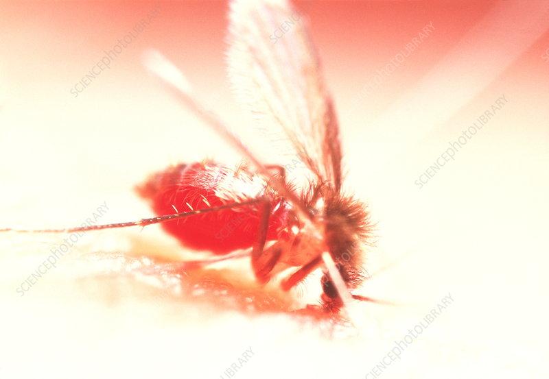Feeding sandfly