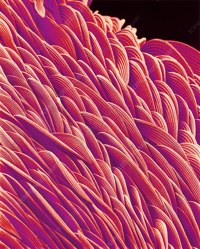 Surface of mosquito, SEM