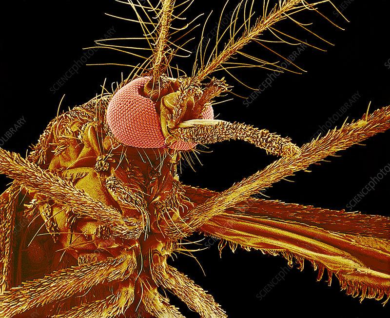 Female mosquito, SEM
