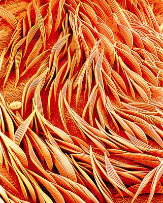 Mosquito body surface, SEM