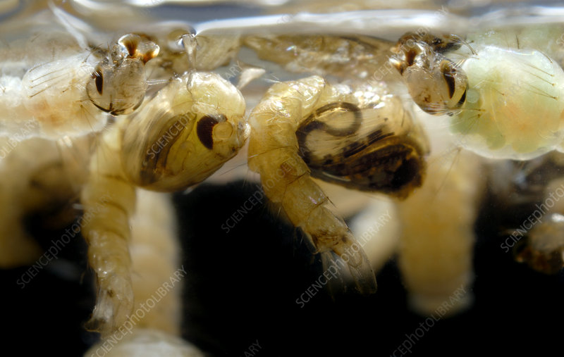 Mosquito larvae and pupae