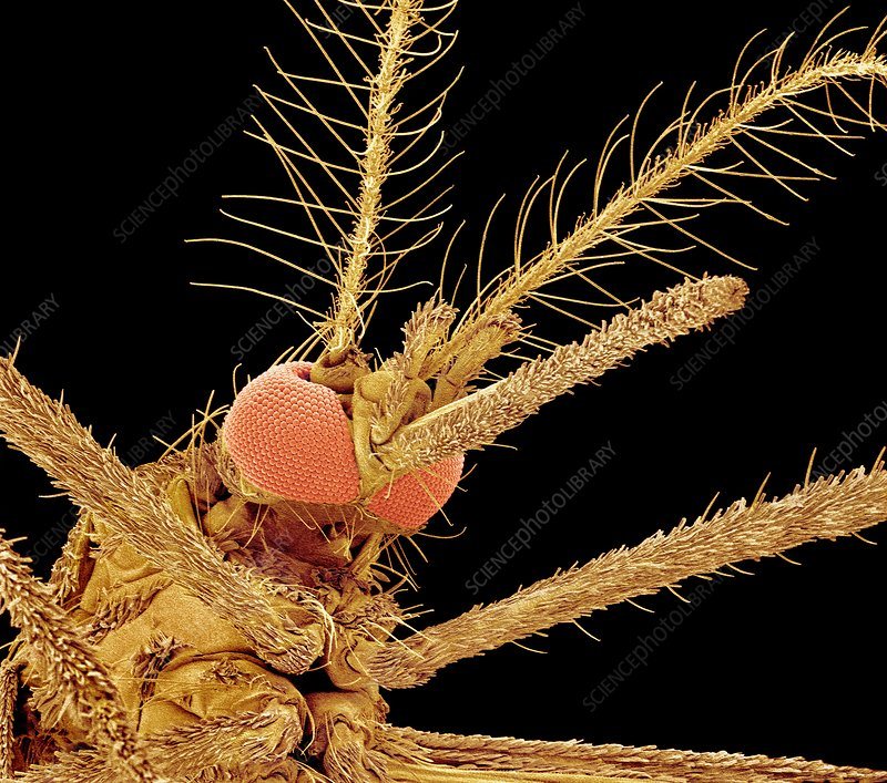 Asian tiger mosquito, SEM