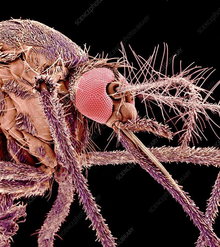 Asian tiger mosquito, SEM