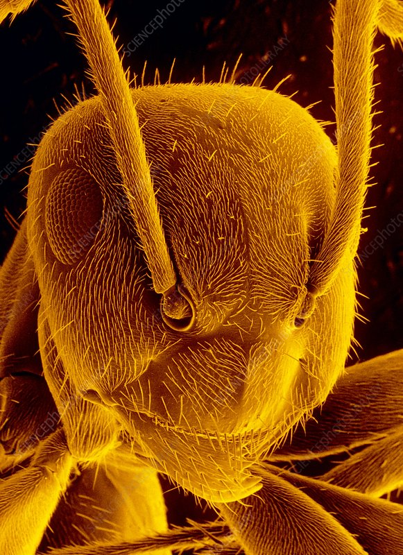 SEM head of black garden ant