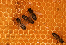 Worker honeybees
