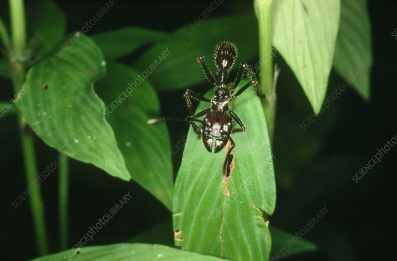 Giant ant from Peru, Paraponera sp.