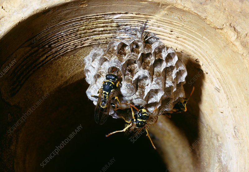 Newly -formed nest of the wasp, 'Polistes gallicus