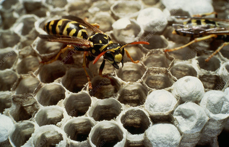 Wasps fighting on nest