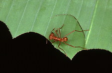 Leaf cutter ant cutting a section of leaf