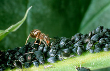 Black garden ant collecting honeydew from aphids