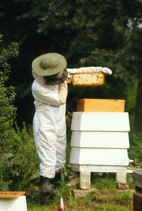 Beekeeper removing a super frame from the hive.