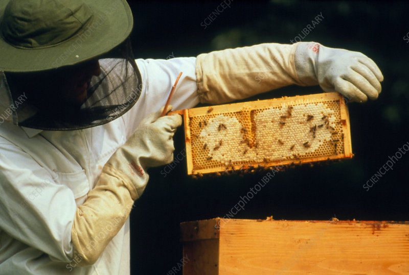 Beekeeper removing a super frame from hive.