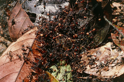 Army ants dismembering a grasshopper, Costa Rica.