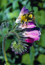 Bumble bee 'cheater' drinking nectar