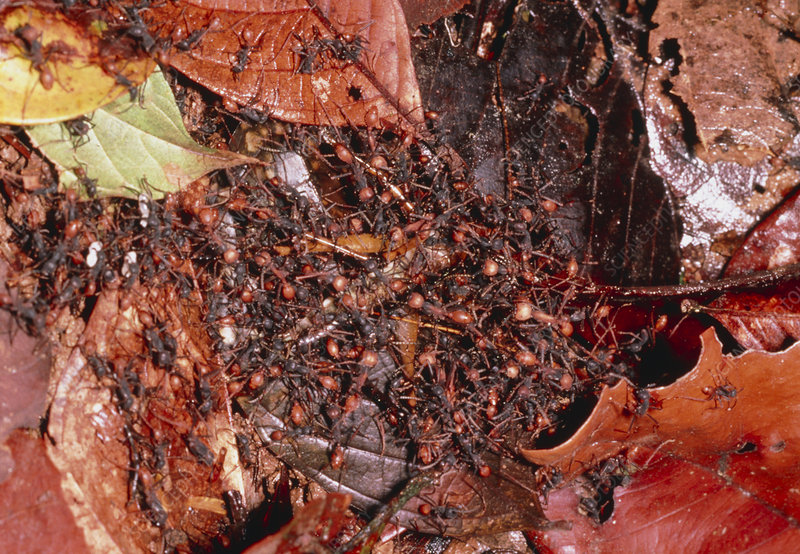 Army ants attacking gryllid cricket, Costa Rica
