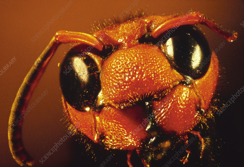 Macrophoto of the head of the wasp, Vespa tropica