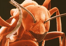 Coloured SEM of the head of Heathland ant.