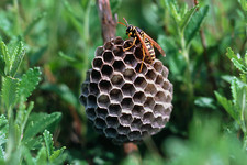 Nest of the wasp, Polistes sp.