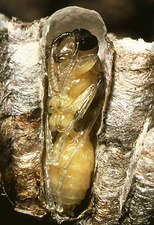 Pupation in nest of the wasp, Polistes sp.