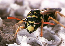 New adult wasp in nest of Polistes sp.