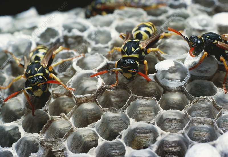 Adult wasps on the nest of Polistes sp.