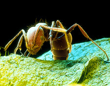 Coloured SEM of a fire ant, Solenopsis sp.