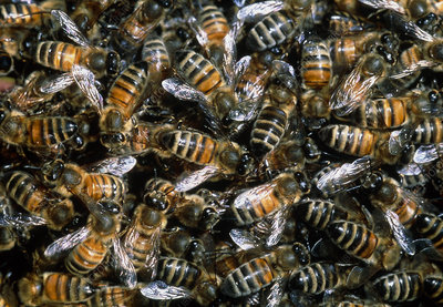 Close-up of a swarm of honey bees (Apis mellifera)