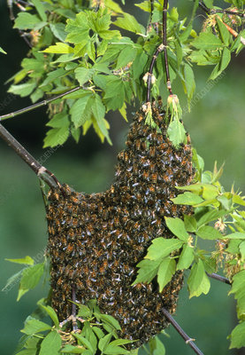 Swarm of honey bees (Apis mellifera) on a tree