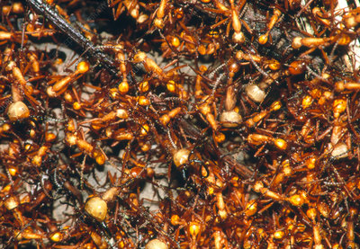 Army ants (Eciton sp.) swarming on forest floor