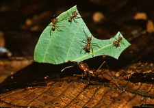 Leafcutter ant (Atta sp.) bringing leaf to nest