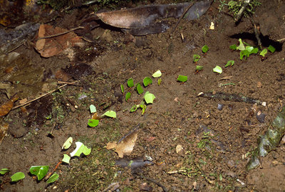 Trail of leafcutter ants (Atta sp.) with leaves