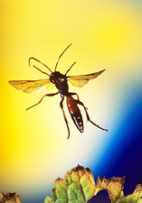 High-speed photo of an ichneumon wasp in flight