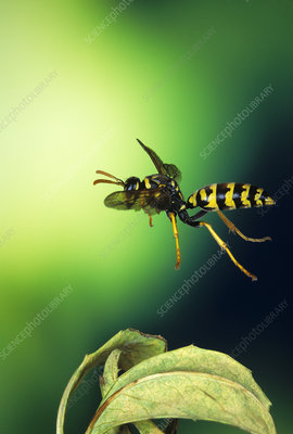 High-speed photo of a paper wasp in flight