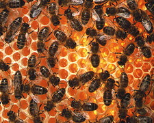 Honey bees, Apis mellifera, on honeycomb