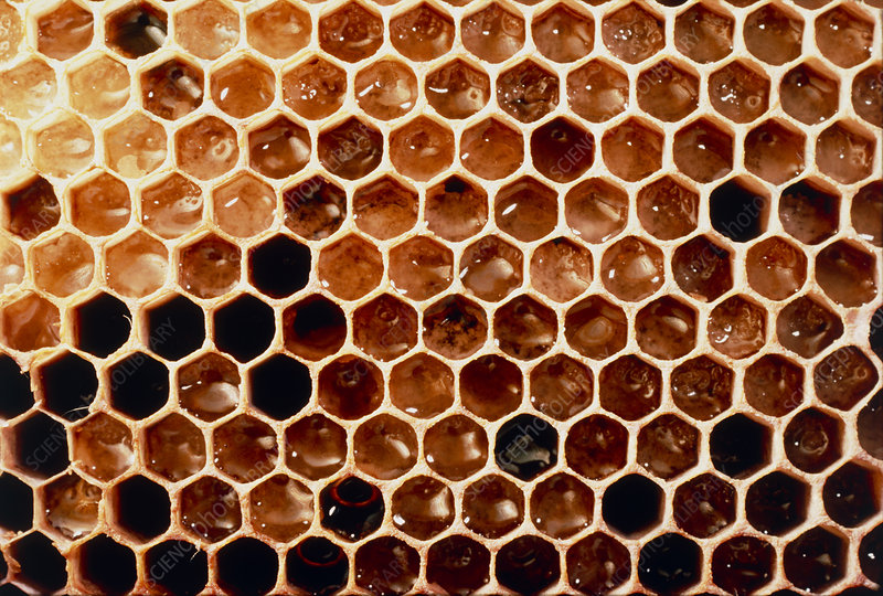 View of honeycomb of the honey bee, Apis mellifera