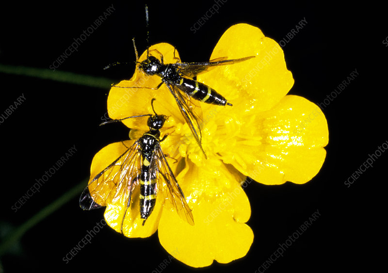 Two European wheat stem sawflies on a buttercup