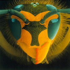 Coloured SEM of a wasp's head (Vespula vulgaris)