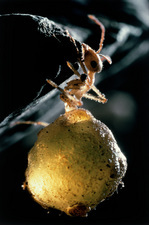 Honey ant replete