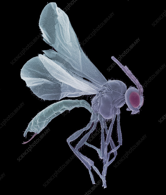 Female parasitoid wasp, SEM