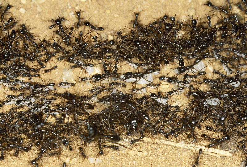 Army ants - Stock Image Z345/0528 - Science Photo Library