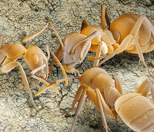 Ant communication, SEM