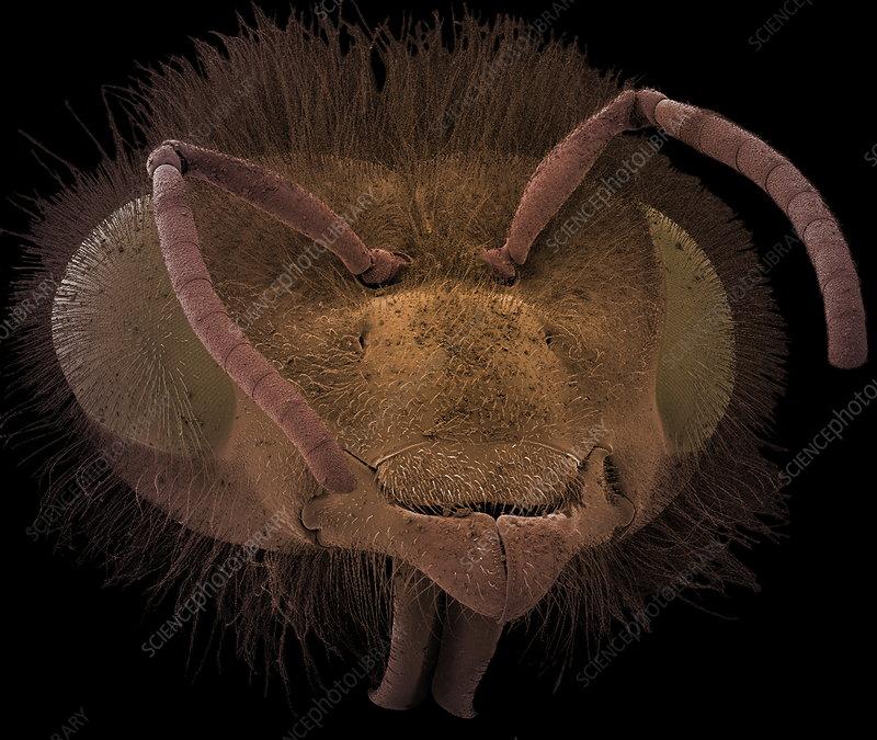 Honey bee, SEM