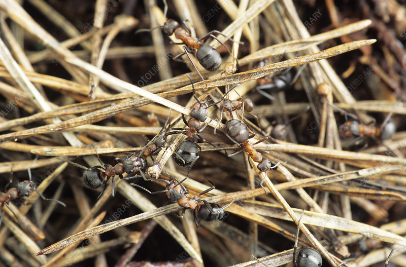 Wood ants in their nest
