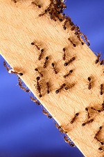 Red imported fire ants on wooden stick