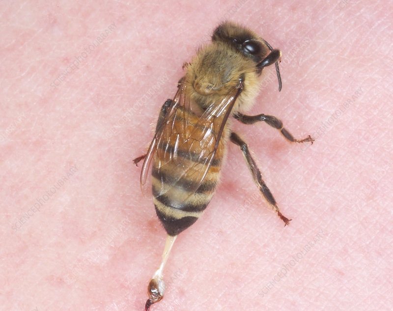 Stinging worker honeybee