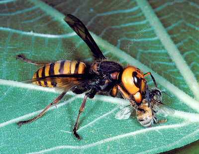 Asian hornet eating a bee